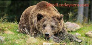 भालू पर निबंध or Kavita Essay on Bear in hindi
