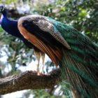 हिंदी में मोर पर 10 लाइनें 10 Lines on Peacock in Hindi