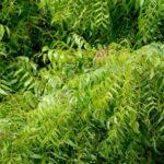10 Lines on Neem Tree in Hindi नीम के पेड़ पर १० पंक्तियाँ हिंदी मे