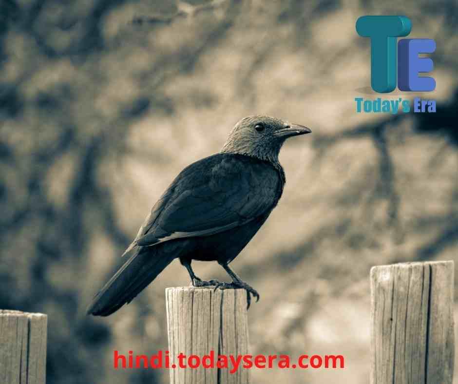 Short Essay on Crow in Hindi | कौआ पर निबंध हिंदी में